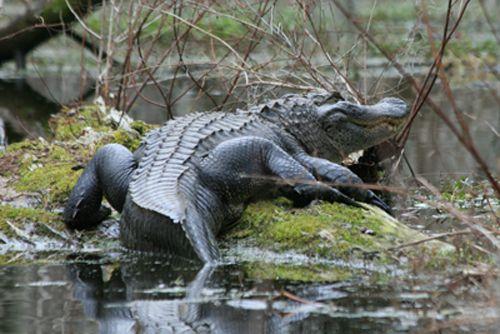 Heflin Gator pic