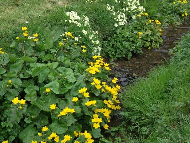 Yellow glory of marsh marigold & primroses on Mill Burn greets the morning wander every day now! So beautiful, swallows overhead,