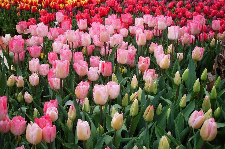 Beautiful bouquet of tulips - Beautiful bouquet of tulips. colorful tulips. tulips in spring,colourful tulip