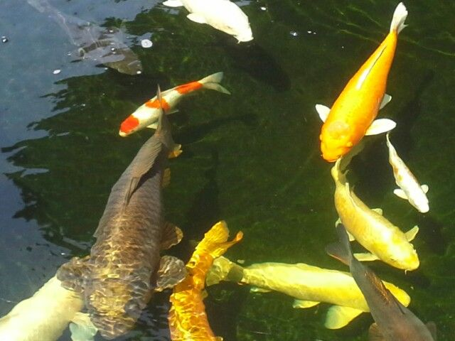 17 best images about koi on pinterest japanese koi one for Koi fish swimming pool