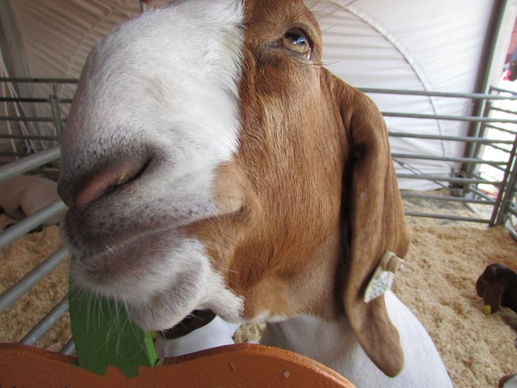 A very friendly goat at the OC County Fair, nibbling on a wooden sign.