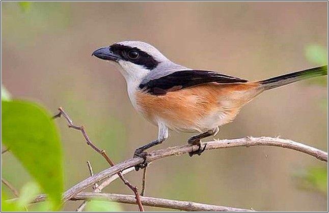 Cara Mudah Merawat Burung Cendet Supaya Gacor Burung Burung Kolibri Piaraan