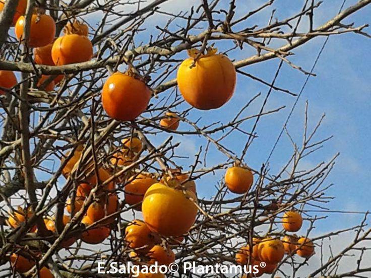 Vendemos plantas de kaki y enviamos a toda la península http://www.plantamus.es/comprar-kaki