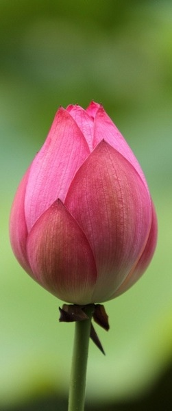 planting the garden that is your life...plant serenity. lotus flower.