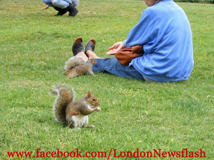 Squirrels St. James's Park, London #UnitedKingdom #GreatBritain #England #London #LondonTrip #Londres #Travel #TravelBlog #Sightseeing #Park #RoyalParks #StJamesPark #Squirrels #Eurotrip #Sightseeing #Vacation #Europe