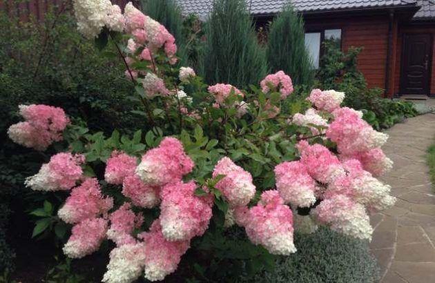 Залог цветения гортензии — Мир Растений