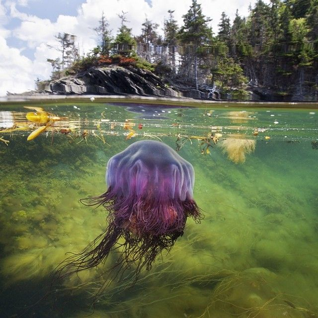 A Lions mane jellyfish hunts the shallow coves of Bonne Bay Fjord in Gros Morne National Park in #Newfoundland #Canada. Lions mane are the largest known species of jellyfish also called the giant #jellyfish. The have stinging tentacles that immobilize prey - tentacles of larger individuals can trail 100 feet or more. These guys live in the cold boreal waters of the Arctic, Atlantic and Pacific. For @natgeo Generous Gulf story with @thephotosociety @natgeocreative @the_explorers_club #ocean…