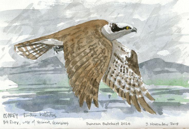 Osprey (Pandion haliaetus), Kleinmond, South Africa