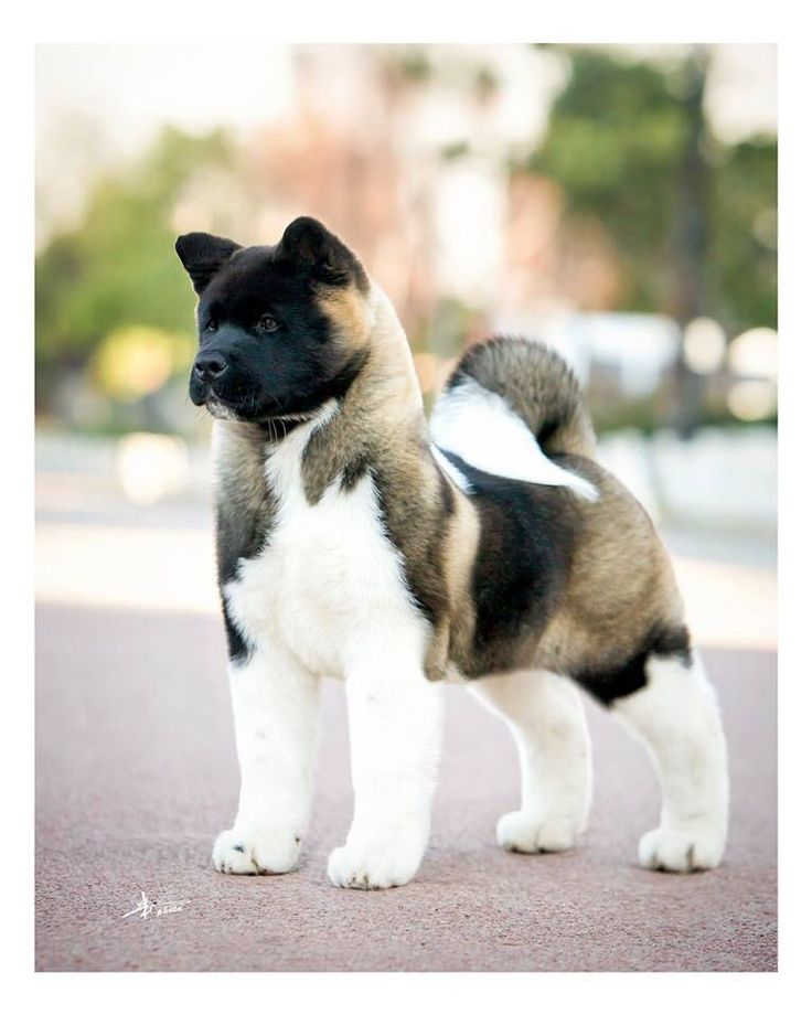 Think I may have more chance persuading the other half to get an Akita... Just gorgeous!