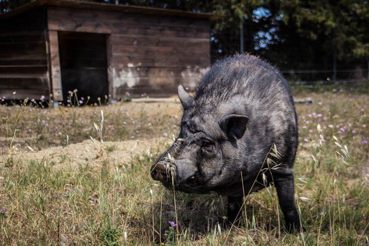 My Expat Life – Olive Orchard & Potbelly Pigs