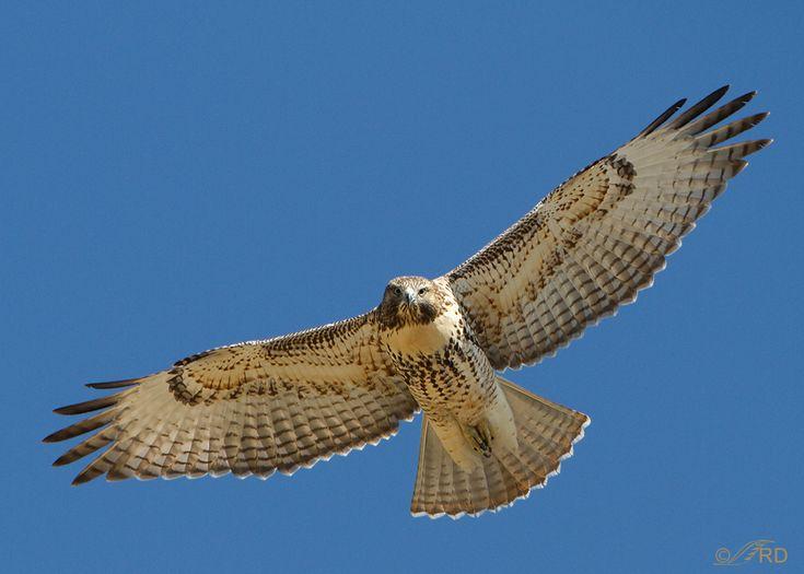 Desert Hawk Animal Red-tailed Hawks of Ut...