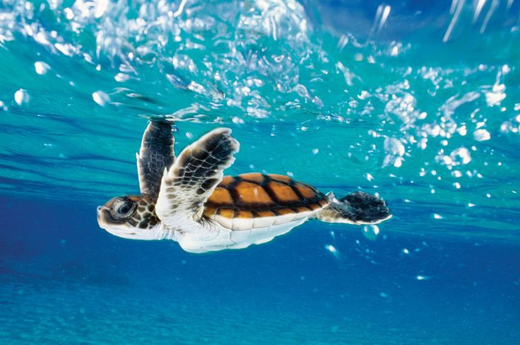 5 Things You Need To Know About Hawaiian Sea Turtles | Hawaii ...