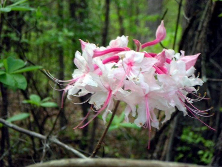 Hanımeli Çiçeği parfümü