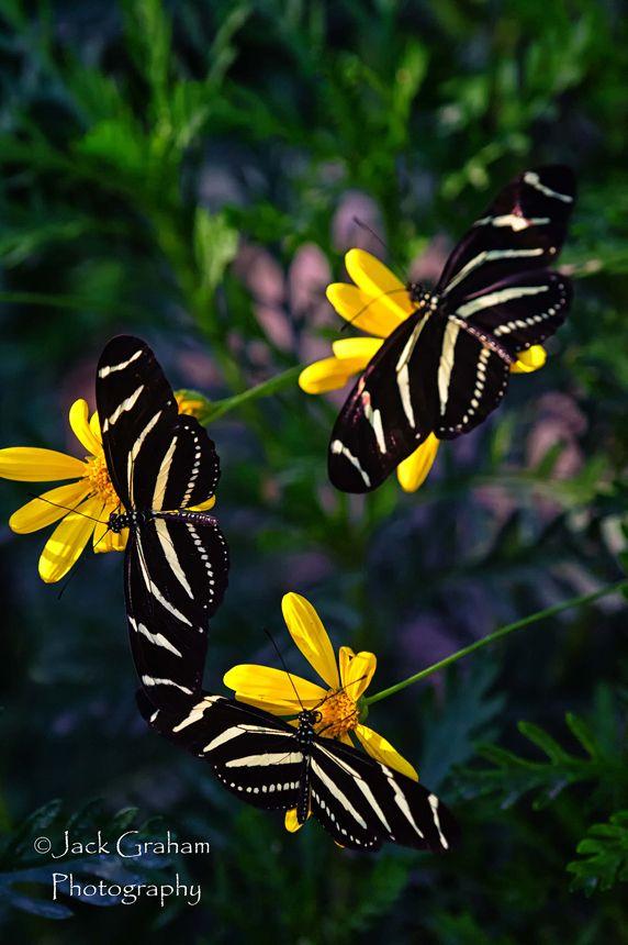 Zebra Longwing Butterflies On Contrasting Yellow Flowersbeautiful