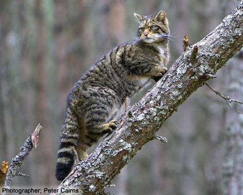 Scottish wildcat -- a cat in danger of extinction