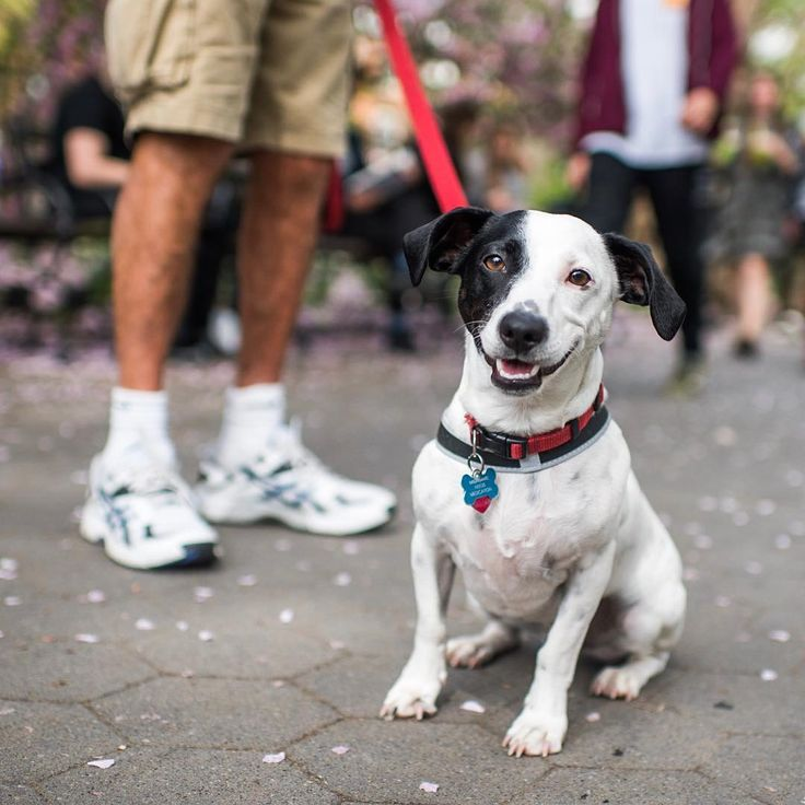"""Astro, Jack Russell Terrier mix (2 y/o), Washington Square Park, New York, NY • """"We rescued him from Mississippi, so he's probably a Republican, but he can't vote. We have our political differences. You took a photo of my other dog, Sammy, about three months before he passed. We lasted about three months without having a dog. I couldn't even go back to my apartment because it was just too painful. It's worse than losing a parent because you don't live with the parent every single day and…"""