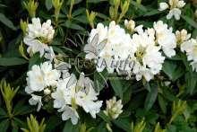 R. hybrid Chionoides, Chionoides, Hybrid (ponticum hybrid). Blomstrer med opretstående hvide blomsterklaser med gul plettegning i maj- juni. Svag til middelkraftig bredopret vækst. Tåler varme og kulde og er særdeles egnet som hækplante. Hårdfør i normale danske vintre.