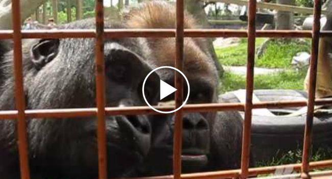 Gorilas Ficam Curiosos Com Lagarta Em Jardim Zoológico