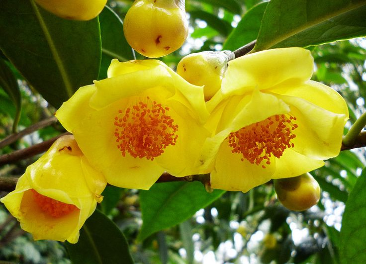 Golden Metasequoia—— Autumn to the Guangxi Golden Camellia Park,Nanning ,China. https://twitter.com/Beautifulgx