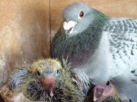 homing pigeons +