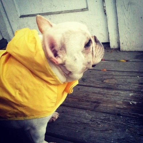 Frenchie in a raincoat!