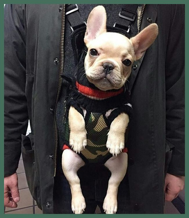 Elite Bulldogs Created A List Of Five Must Know French Bulldog Winter Care Pointers To Assist Kee In 2020 With Images French Bulldog Puppies French Bulldog Clothes Bulldog Puppies