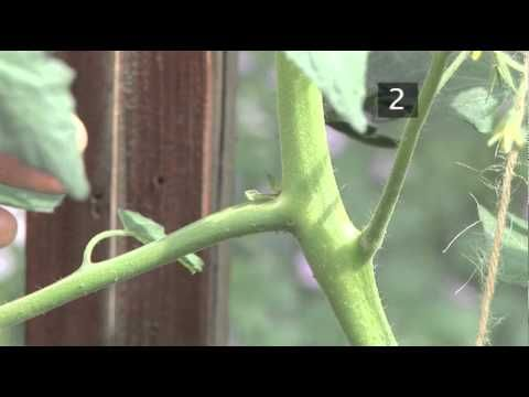A good tutorial on how to prune tomato plants