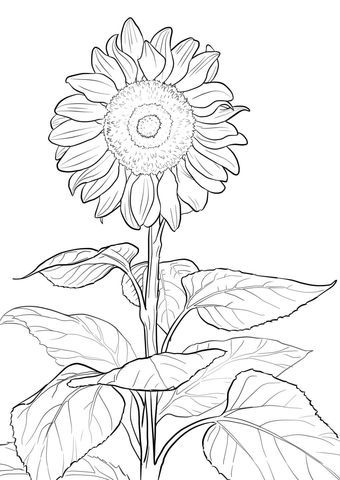 sunflower coloring page more free printable