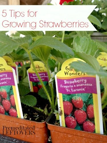 5 Tips for Growing Strawberries - Strawberries can be quite easy to grow if you just follow a few important tips.