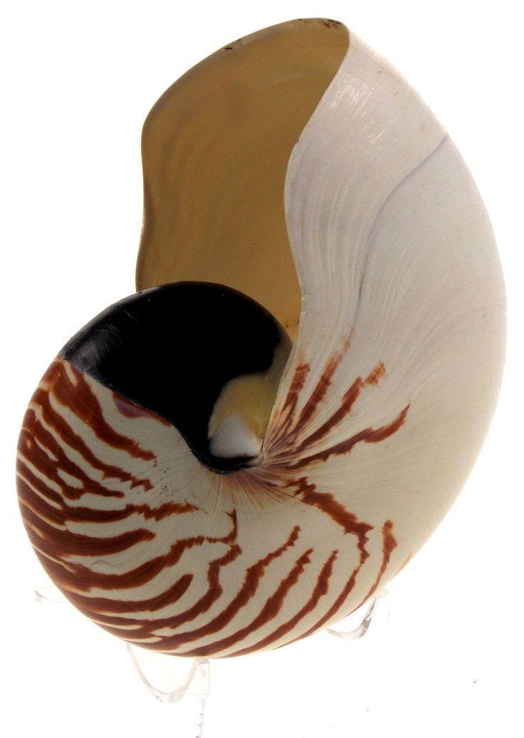 "Giant Shell Nautilus 7"" Large Chambered Pompilius Seashell 175mm Clear Stand"