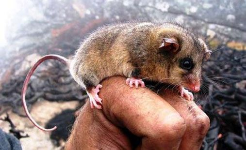 Until 1966, the existence of Australia's Mountain Pygmy Possum was only known from fossils.