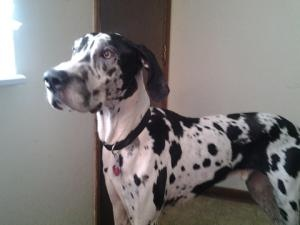 Lambo is an #adoptable Great Dane Dog in #Morris, #ILLINOIS. Can I love on you? My name is Lambo and I'm a 6 year old Harlequin.   I came to the Forever Friends Great Dane rescue from a shelter.   My previous ...