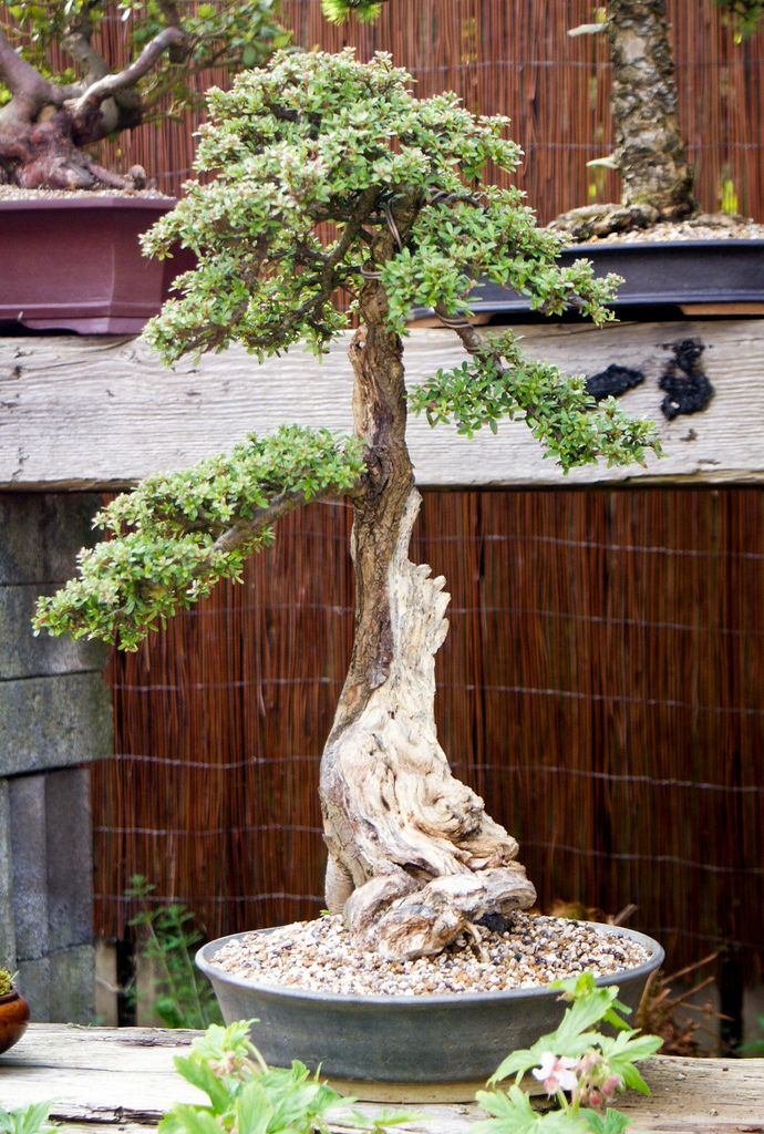 Ian's bonsai trees | por mariusz.and
