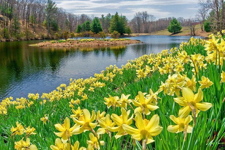 Daffodils Poem   Field Of Daffodils Lake Sunny daffodil ...