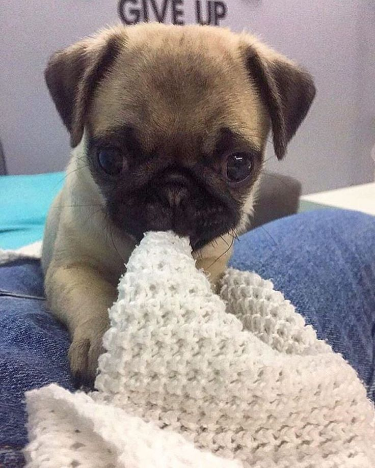 A pug a day keeps doctor away!  #pugdaily #pugs #pug #cute #puglover  I need this pug in my life✌️  All credit goes to the owners  Tag if you know them   #pugdaily #pugs #pug #cute #puglover