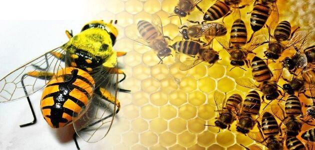 بحث كامل عن النحل جاهز للطباعة Bee