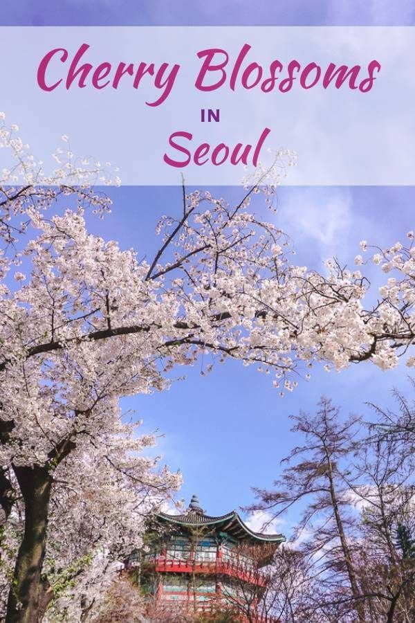 Where To See Cherry Blossoms In Seoul Korea Cherry Blossom Festival Cherry Blossom Spring Destinations