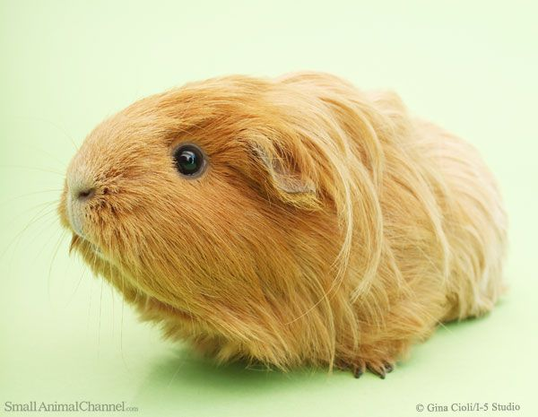 Interacting with a guinea pig requires trust, so how do you build trust with and tame your guinea pig?