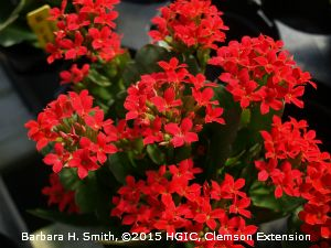 Kalanchoes come in a wide range of colors such as this red, single flowering variety of kalanchoe (Kalanchoe blossfeldiana).