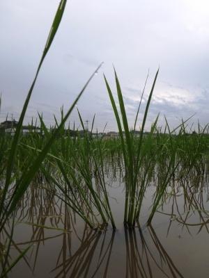 こめ吉農園さんの田んぼ(6月初め)。田植えから1ヶ月くらいのところ。