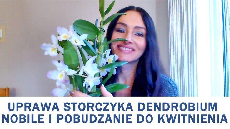 Uprawa storczyka dendrobium nobile oraz pobudzanie go do kwitnienia. /video/ #rytmynatury#video#film#storczyk#orchidea#dendrobium#dendrobiumnobile#kwiaty#flowers