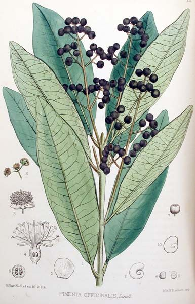 Who knew? What a great source for information on spices. ALLSPICE (PIMENTO)