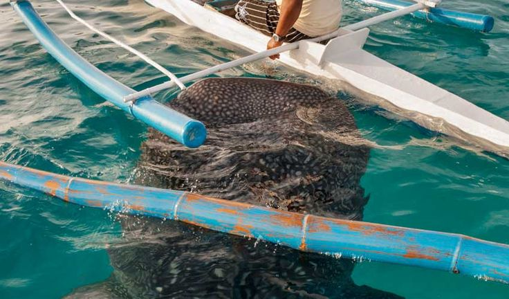 Swimming with whale sharks, Donsol Philippines