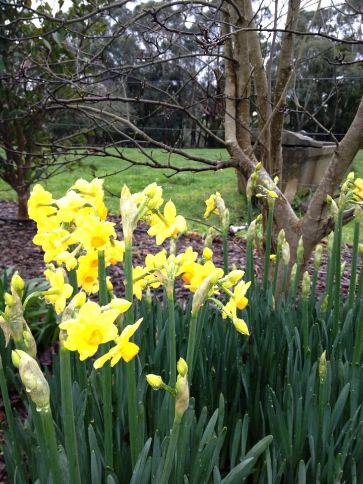 Daffodils under the mulberry tree