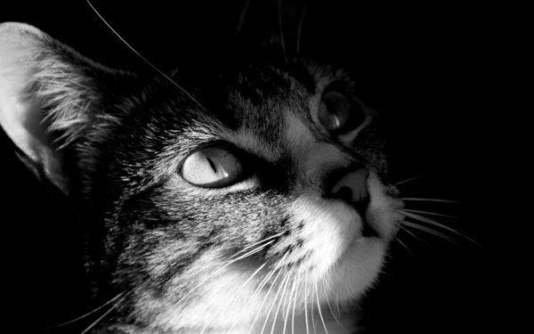 Beau chat en noir et blanc