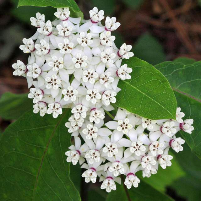 Find Milkweed Plants and Milkweed Seeds for Monarchs  ~  Redring Milkweed