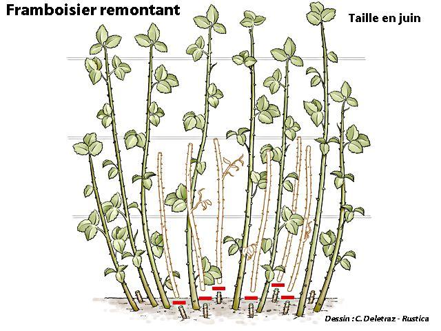 Les 25 meilleures id es de la cat gorie arbuste fruitier sur pinterest arbres d 39 hiver arbres - Quand tailler les arbres et arbustes ...
