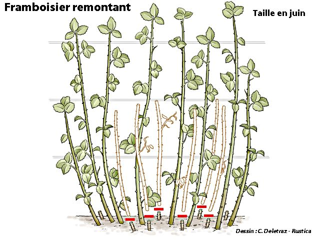 17 meilleures id es propos de plantation framboisier sur pinterest entretien framboisier - Ou planter un framboisier ...