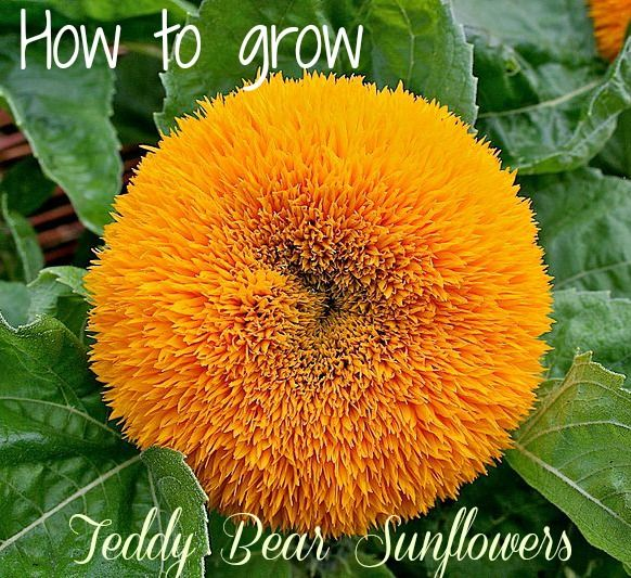 Teddy Bear sunflowers are a plant that children will love. It has cuddly-looking, 4-5 inch yellow flowers and is quite different from the normal sunflower.