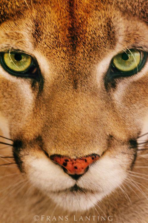 Mountain lion face close up - photo#45